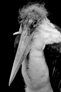 Marabou Stork- Vogelpark Walsrode, Germany
