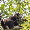 howler eating fruit in tree