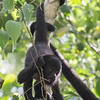 Baby Howler Monkey at Calakmul. This was an unexpected bonus.