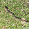 Fer-de-lance snake. maybe the most dangerous in Costa Rica.  Poisonous snake #3 of the day.