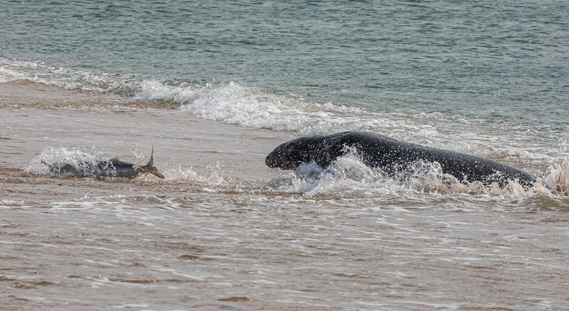 Seal following the fish up the beach