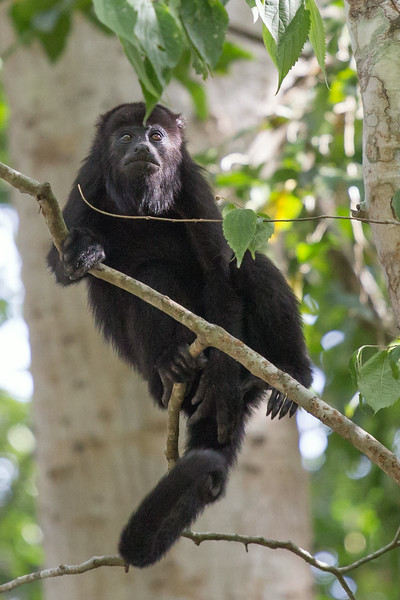 Howler Monkey at Calakmul. This was an unexpected bonus.