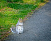 Eastern Gray Squirrel - Midlothian, VA