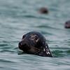 gray seals near Monomoy Island.