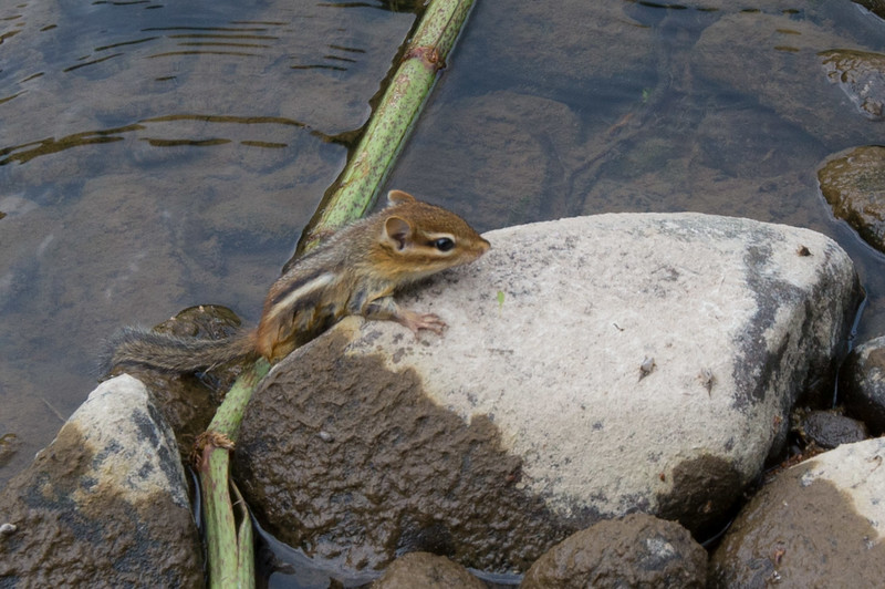 chipmunk that just crossed the river. He was too tired to care about being photographed.