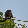 This howler monkey was watching me take photos for 30 min without making any sound.
