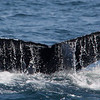 humpback whale. Name is Midnight.