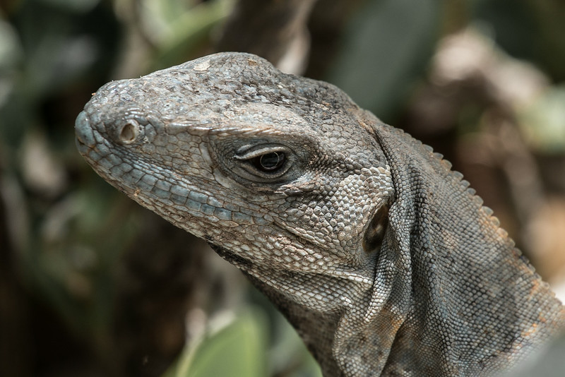 black spiny-tailed iguana on doc near Celestun