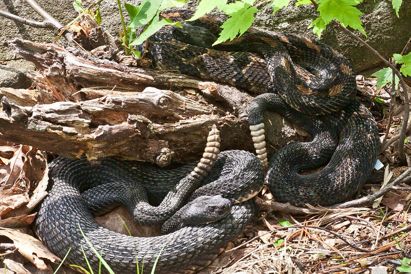 Rattlesnake populations on the east coast continue to decline.  This is a rare treat for some and a nightmare for others.