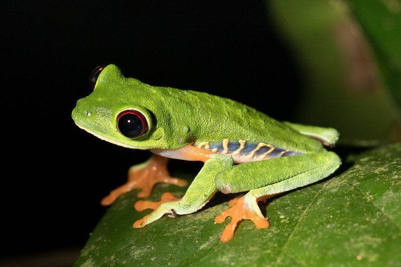 """that evening we went on a """"night hike"""". Kathy missed out, she was not feeling well due to dehydration.  the rest of us enjoyed dinner out in the  forest preserve, then hiked around with a guide finding cool stuff in the dark.  This is  a red eyed tree frog."""