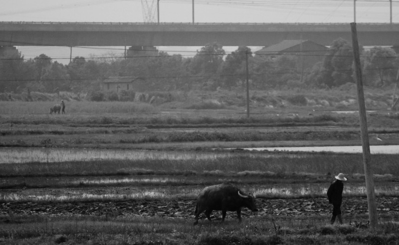 Here is a contrast.  a water buffalo in the foreground and the high speed train rail in the background.