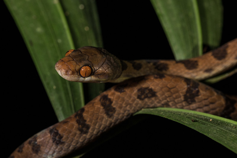 cat eyed snake looking for frogs to eat
