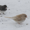 Junco with unusual coloration.