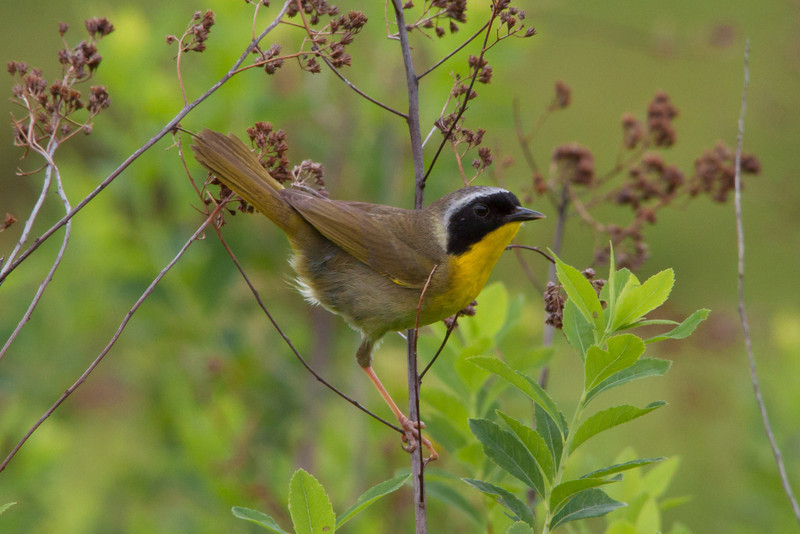 male common yellow-throat.