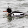 male merganser duck