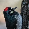 Acorn Woodpecker. they store acorns in holes they make in trees.