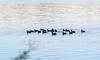 American Coots on Swift Creek Reservoir - Midlothian, VA