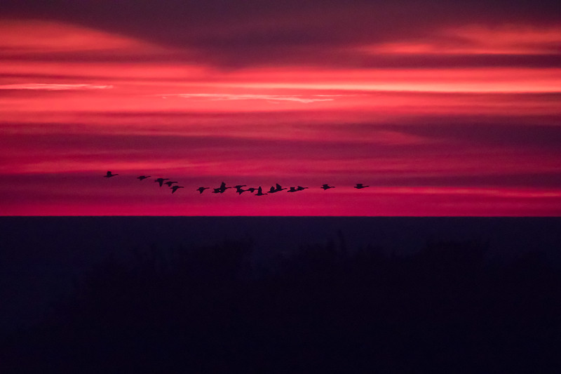 sunset with geese.