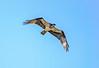 Osprey Hunting over Swift Creek Reservoir - Midlothian, VA