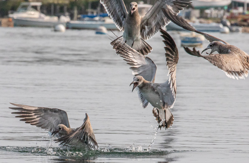 These sea young sea gulls were taking advantage of the small stripped bass feeding.  This brings the small fish to the surface.  They are very noisy in this frenzy.