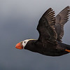 Tufted puffin off St Lazaria Island