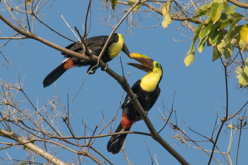 our next type of toucans.