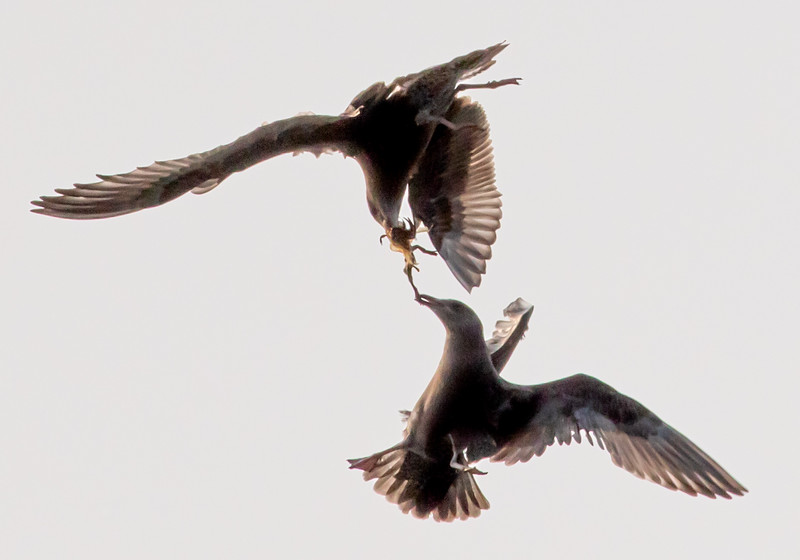 sea gulls fighting over a crab.