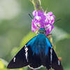 blue skipper