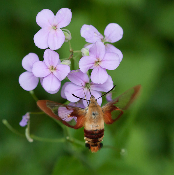 Clear Winged Sphinx Moth