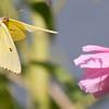 cloudless sulphur butterfly.