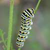 black swallowtail caterpillar.