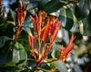 Red Tip Photinia (Photinia x fraseri) - Midlothian, VA