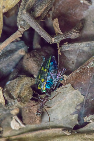 Andy saw this ant carrying a brightly colored beetle while on our chocolate tour. I could not help taking the photo.