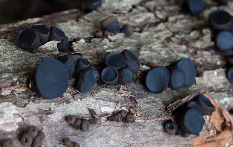 unknown black mushrooms