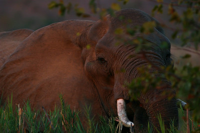 Ellie in the bush at sunset.  This is an old matriarch...  she is the leader of her herd and passes down all of her knowledge to the younger family members.