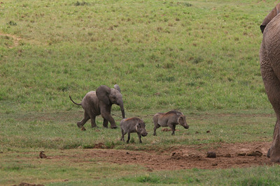 Boys will be boys...  this little elephant was chasing the warthogs all around while mom (far right) kept close watch!!  The young elephants are very playful.