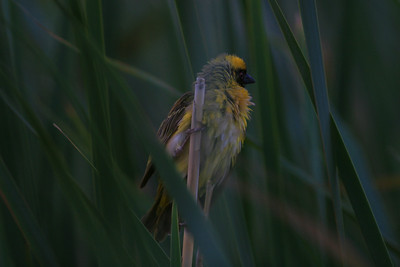 Weaver at dusk in Karoo National Park- South Africa.