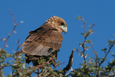Young Bateleur Eagle...  very inquisitive and fearless of the vehicle.