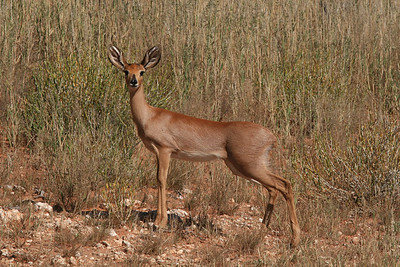 Female Steenbok- Kalahari