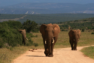 ELEPHANTS HAVE RIGHT OF WAY- Addo National Park, South Africa