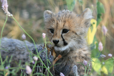 Young Cheetah cub at the Otjitotongwe Cheetah Farm in Namibia.