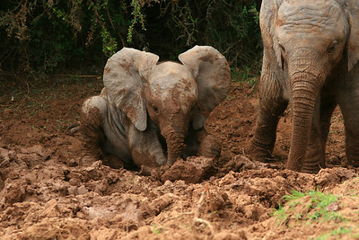 Mud Bath!!  Addo National Park, South Africa