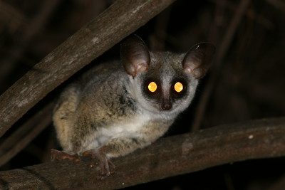 Bushbaby at the Ngepi Campsite.  These tiny nocturnal primates jump throughout the trees eating insects and sap.
