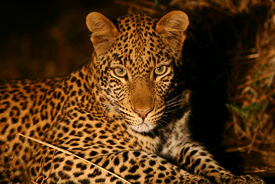 First Leopard sighting!  This young inquisitive male decided to pose for the camera on our night drive in Mashatu Game Reserve...  I should have had a wide-angle lens for this one!  Normally leopards are extremely shy and hide upon hearing any approaching vehicles.
