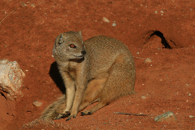 Yellow Mongoose in the Kalahari.