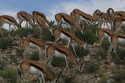 Herd of Springboks