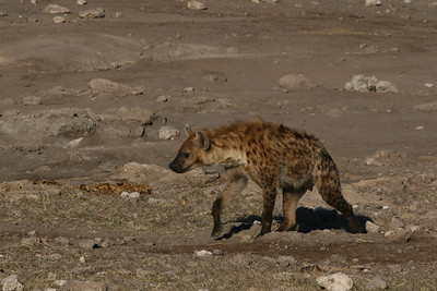 Spotted Hyena walking towards the waterhole in Etosha National Park- Namibia.