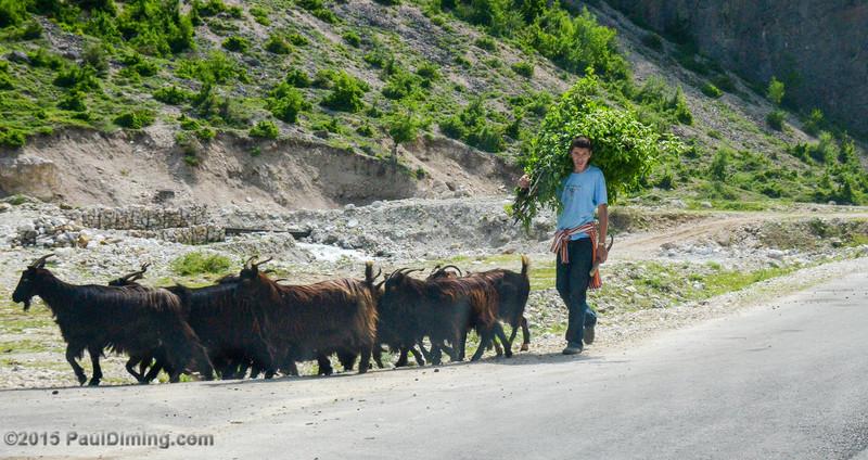 Young Man Leading Goats - Valbona, Albania