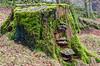 Moss-covered Stump - Newbiggin - Barnard Castle, England, UK