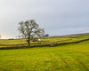Pasture & Tree - Newbiggin - Barnard Castle, England, UK